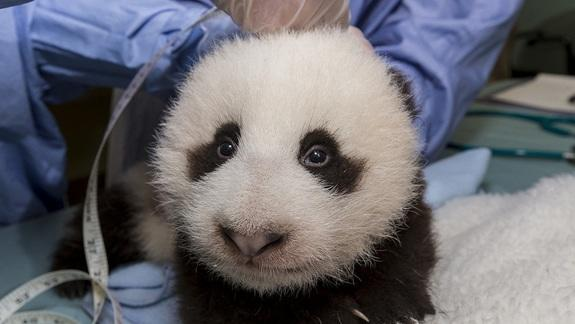 San Diego Panda Cub About to Sprout Baby Teeth
