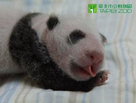 Baby Panda Is Emoticon.