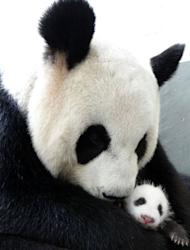 Undated photo released by the Taipei City Zoo on August 13, 2013 shows giant panda Yuan Yuan hugging her baby Yuan Zai. The weeks-old female cub was put inside Yuan Yuan's enclosure Tuesday where the mother gently picked her up, embraced and breastfed her