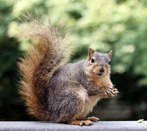 7 things homeowners should know about squirrels