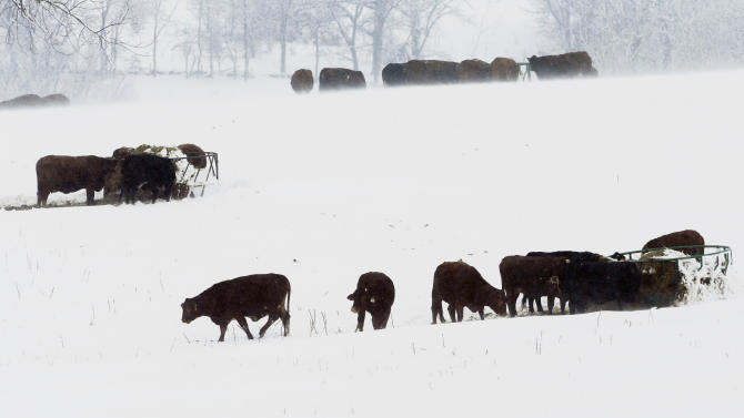 FILE - In this Feb. 26, 2013 file photo, cattle feed in a snow covered pasture near Lecompton, Kan. Recent rain and snowstorms have eased the grip of the worst U.S. drought in decades in portions of the nation's midsection, but climatologists caution that the moisture _ a blessing after a disastrous, bone-dry 2012 across much of the nation's Corn Belt _ doesn't signal the end of the stubborn drought still gripping more than half the continental U.S. (AP Photo/Orlin Wagner, File)