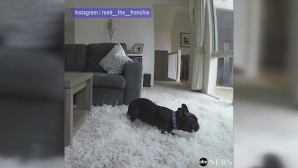 Good Morning America French Bulldog : French bulldog tears up owner s living room watch the
