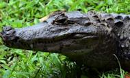 Alligators Found Guarding Washington Pot Crop