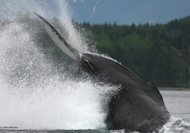 The tail of a humpback whale as it descends into the water.