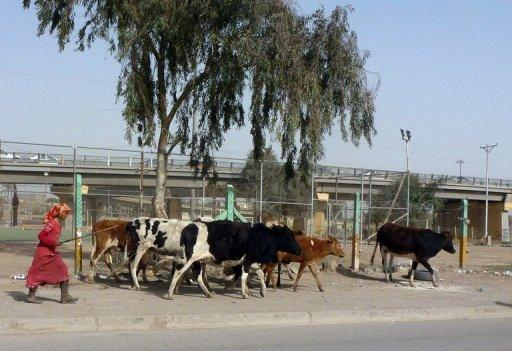 An Iraqi woman herds her cows towards public gardens to graze in the Iraqi capital Baghdad as farmers suffer from the lack of water in the outlying areas of the capital, in March 2012. An Iraqi farmer committed suicide on Thursday because a lack of water, which has forced hundreds of families to abandon their homes in recent years, had taken a toll on his land, officials said