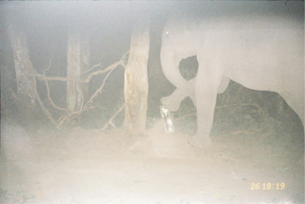 An elephant attacks a camera trap installed by Aaranyak, a conservation group tracking tigers in India.