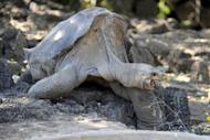 Lonesome George, the last known Pinta Island tortoise, pictured seen at Galapagos National Park's breeding center in Puerto Ayora, Santa Cruz island, in 2008. Famed giant tortoise Lonesome George has died, leaving the world one subspecies poorer