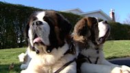 These St. Bernard dogs will be heading to university next week.