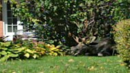 A moose that had wandered into a residential area of Ottawa in 2010 collapsed on the front lawn of a home.
