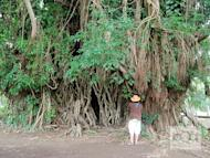 This massive balete tree in Aurora is said to be 600 years old.