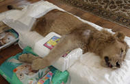 A paralyzed lion named Ariel lies on a mattress in a veterinarian's home in Sao Paulo, Brazil, Wednesday July 13, 2011. An Internet and Facebook campaign has been launched in Brazil to obtain funds needed to treat the lion that has been paralyzed for the past year. The campaign was launched by Raquel Borges, the owner of Ariel, a three-year-old, 310 pound (140 kilogram) lion that has been unable to use his four legs due to a degenerative disease affecting his medulla. Borges runs a a shelter that cares for sick or abandoned animals. (AP Photo/Andre Penner)