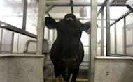 """A cow quietly nibbles on feed. The sale of a bankrupt dairy farm group to a Chinese firm has sparked fears of a foreign land grab in New Zealand, as well as revealing what critics label a """"dark side"""" of the national psyche"""