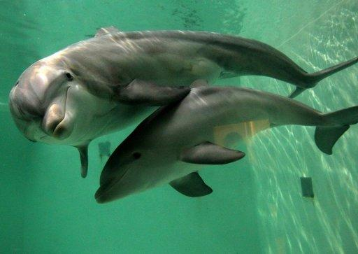 Baby bottlenose dolphin Doerte and her mother Delphi swim through their basin on October 18, 2011 at the zoo in Duisburg, western Germany. One of 25 dolphins being transferred to a Singapore oceanarium despite protests from activists died during its flight to the city-state on Thursday, the resort said
