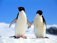 How to Recover From the Ravages of Google Penguin and Panda image companions adelie penguins 300x225