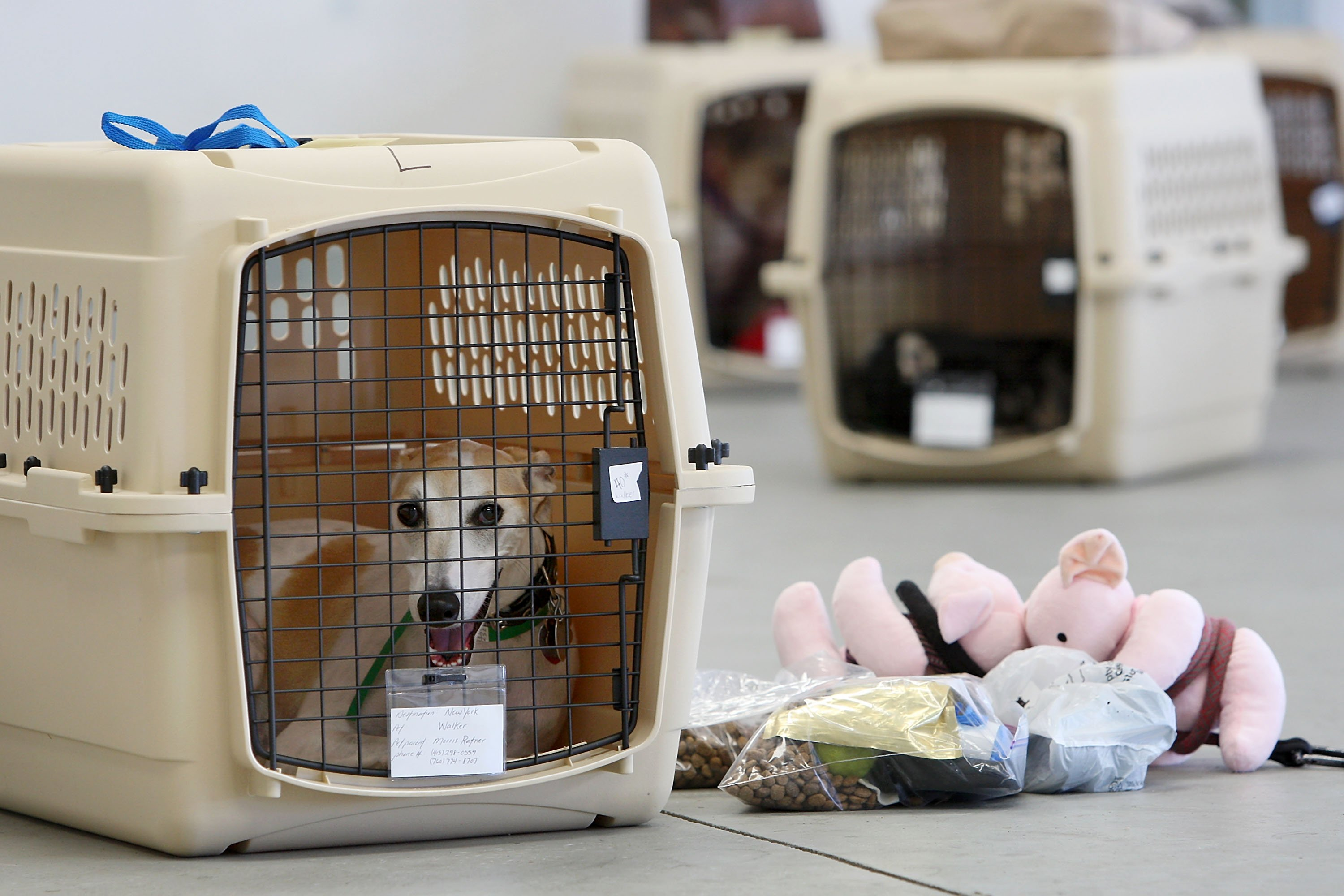 HAWTHORNE, CA - JULY 16: A dog sits in its crate near stuff toy pigs and pet food before the southern California maiden voyage of Pet Airways on July 16, 2009 in the Los Angeles-area city of Hawthorne, California. (Photo by David McNew/Getty Images)