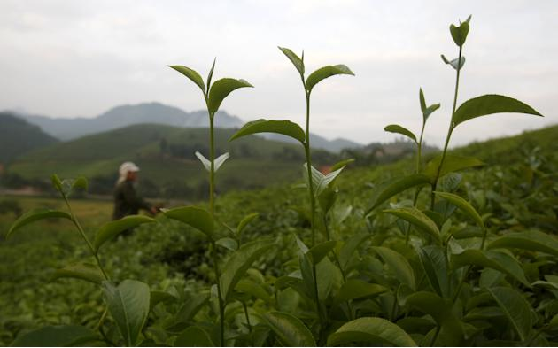 A woman from the Muong ethnic tribe works on her green tea hills which produce black tea for export in Tan Son, outside Hanoi