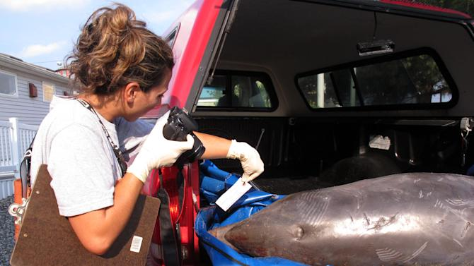 Danielle Monaghan, a staffer at the Marine Mammal Stranding Center in Brigantine N.J., photographs a dead dolphin that washed ashore Wednesday, Aug. 21, 2013, in Spring Lake N.J. before being brought to the center for an examination. About 230 dolphins have died off the East Coast of the U.S. this summer, prompting a massive probe into the cause of their deaths. This dolphin was the 63rd to die on New Jersey's shores since early July. (AP Photo/Wayne Parry)