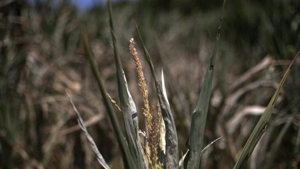 Drought destroys Iowa's corn