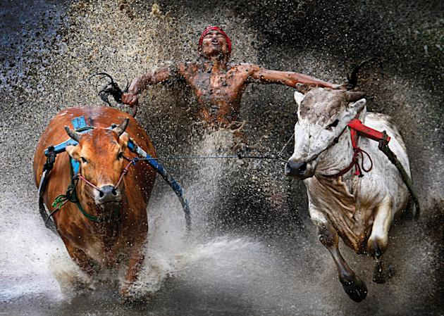 Weu Seng Chen, from Malaysia took first prize in the sports category at the World Press Photo awards for his picture of the Pacu Jawi in Indonesia. The Pacu Jawi (bull race) is a popular competition a