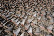In this photo, shark fins are laid out to dry in the sun before being packed and shipped to buyers. These parts are the main ingredient in shark fin soup, a pricey Asian delicacy.