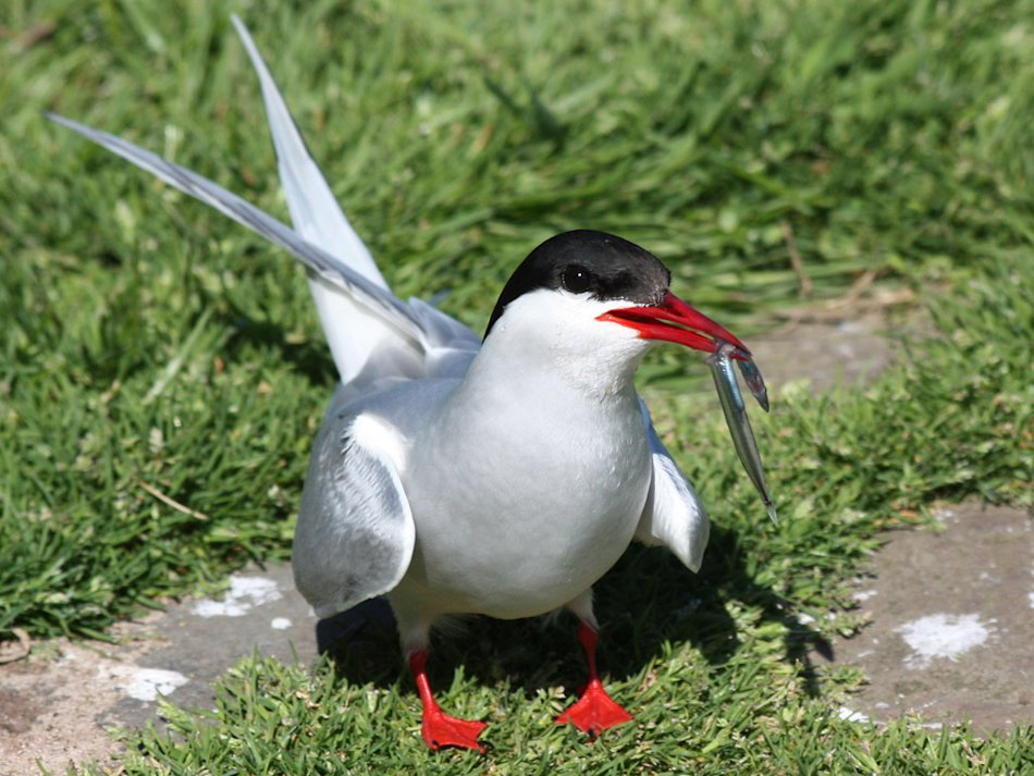 Arctic Tern with a Sand Eel