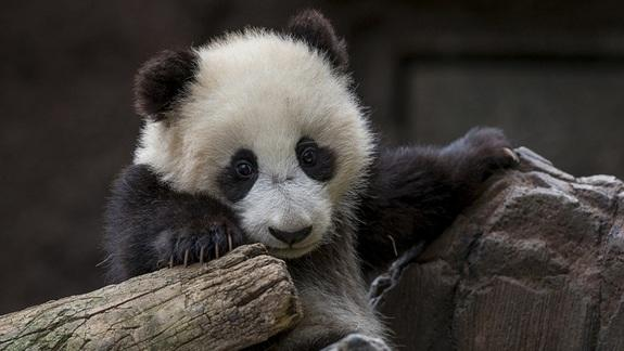 Baby Panda Gets Cozy in New Home