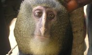 New Monkey Species Discovered In Africa
