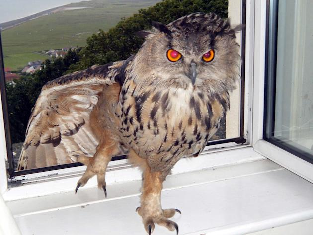 """""""Eyeballs"""", was captured after residents claimed the wild eagle owl had been terrorising residents, attacking a gardener and a poodle. The wild animal had been welcomed into the home of one"""