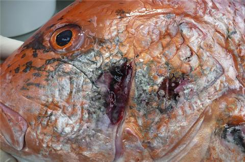 Gulf seafood deformities alarm scientists