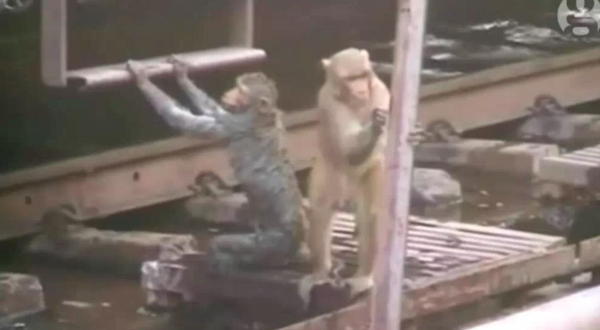 Hero monkey revives electrocuted friend