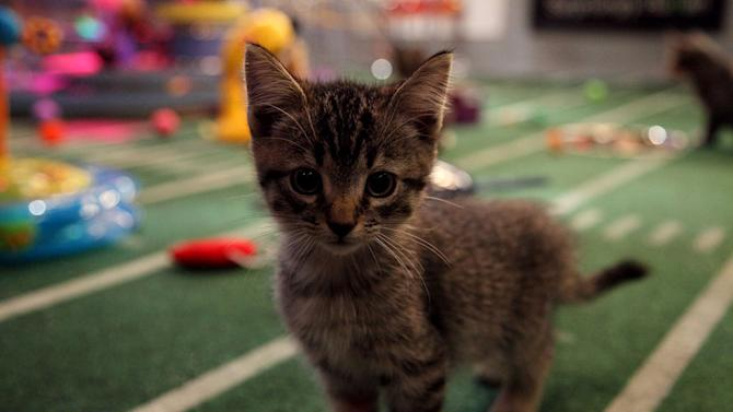 """A kitten plays during Kitty Half-time as seen on """"Puppy Bowl VIII."""""""