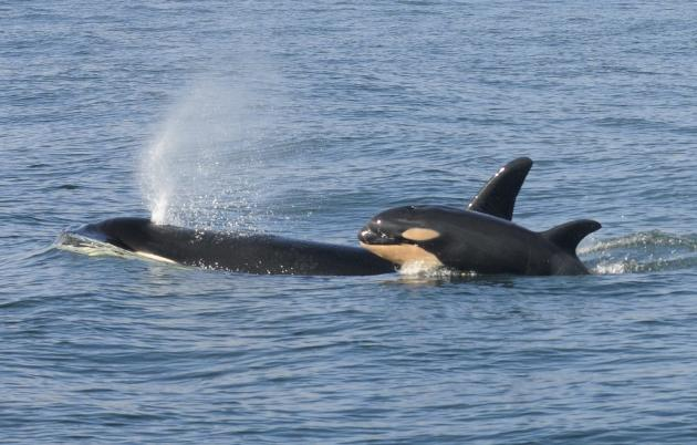 Handout photo of a female killer whale and her newborn calf are seen in Grays Harbor