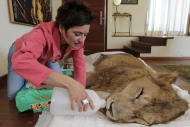 Raquel Borges visits her paralyzed lion Ariel at the home of a veterinarian where Ariel is being treated in Sao Paulo, Brazil, Wednesday July 13, 2011. An Internet and Facebook campaign has been launched in Brazil to obtain funds needed to treat the lion that has been paralyzed for the past year. Borges launched the campaign for the three-year-old, 310 pound (140 kilogram) lion that has been unable to use his four legs due to a degenerative disease affecting his medulla. Borges runs a a shelter that cares for sick or abandoned animals in Maringa, Brazil. (AP Photo/Andre Penner)