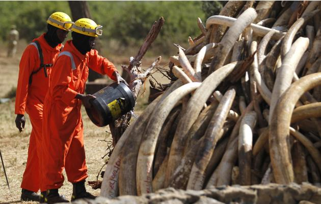 A Kenya Wildlife Service ranger pours gasoline on 15 tonnes of ivory confiscated from smugglers and poachers ahead of burning it to mark World Wildlife Day at the Nairobi National Park