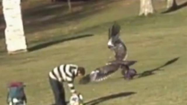 Viral video shows eagle snatching toddler in park
