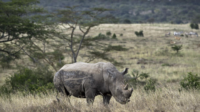 In this Thursday, Sept. 20, 2012 file photo, a white rhino grazes in Nairobi National Park, Kenya. Alarmed that rebel militias could be profiting from a sharp increase in the poaching of elephants and rhinos, the U.S. plans to step up efforts to build a global coalition to combat the illegal wildlife trade, Secretary of State Hillary Rodham Clinton said Thursday, Nov. 8, 2012 in Washington. (AP Photo/Ben Curtis, File)