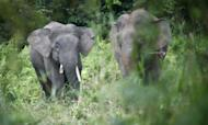 Vet Student Gored To Death By Pygmy Elephant