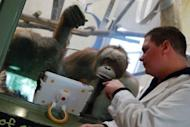 Orangutans watch a video on an iPad held up to the glass of their enclosure by a volunteer at the Milwaukee County Zoo. The zoo has been using iPads as enrichment tools for its three orangutan for nearly a year now and are retrofiting their building with wifi so the playful primates can soon have 'playdates' with orangutans at other zoos using livestreaming video applications like FaceTime