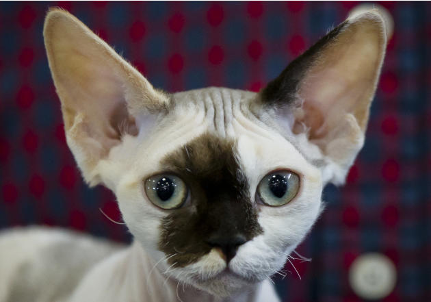 Gaya, a Devon Rex kitten, waits to be evaluated by a judge in Bucharest, Romania, Sunday, April 26, 2015. More than 250 cats entered the international feline beauty competition in the Romanian capital