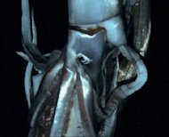 This image of the long sought-after giant squid is part of a Discovery Channel documentary on the largest deep sea creatures.