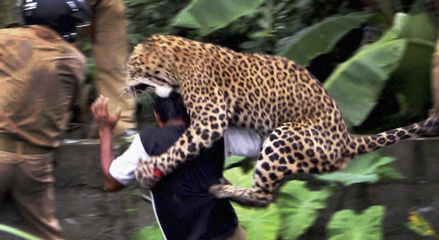 In this photo taken Tuesday, July 19, 2011, a leopard attacks a forest guard at Prakash Nagar village near Salugara, on the outskirts of Siliguri, India. The leopard strayed into the village area and mauled several villagers, including three guards, before being caught by forest officials, according to news reports. The leopard, which suffered injuries caused by knives and batons, died later in the evening at a veterinary center. The forest guard being attacked was injured. (AP Photo) INDIA OUT