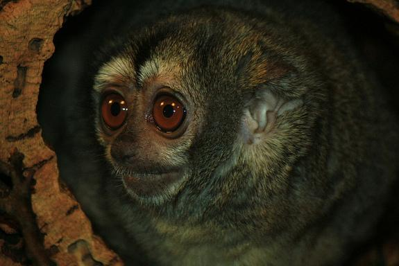 Owl monkeys that stick with one mate have more offspring than those who take up with another monkey, new research suggests