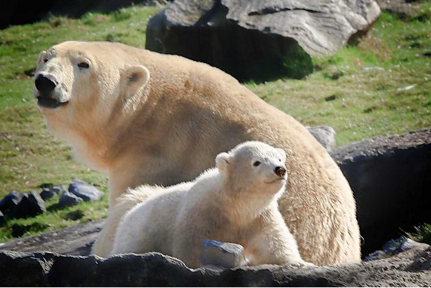 Baby Polar Bear (and mom)