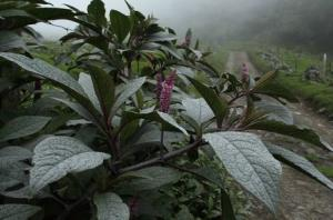 A plant covered in ash after an eruption of Turrialba…