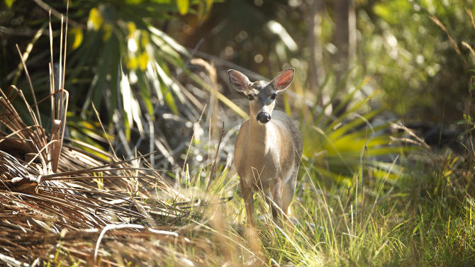 In this Feb. 12, 2013 photo, a key deer walks out of the woods on Big Pine Key, Fla. Big Pine Key, like most of the lower Keys, have a more laid back feeling to it, with fewer travel attractions. In Big Pine Key, you can see the small deer with white tails at the National Key Deer Refuge.  (AP Photo/J Pat Carter)