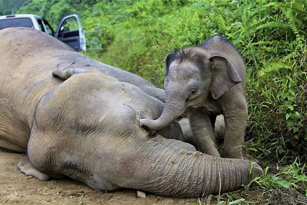 An elephant calf standing close to its dead mother in Malaysian Borneo on January 29, 2013