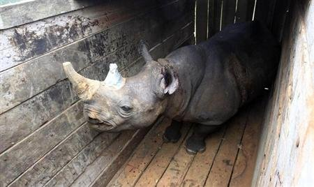 An endangered black male rhinoceros with its horn partially cut-off stands in a cage after a radio transmitter was implanted in its horn, before translocation at the Lake Nakuru National park in Kenya's Rift Valley, 160 km (99 miles) west of the capital Nairobi, October 12, 2010. REUTERS/Thomas Mukoya