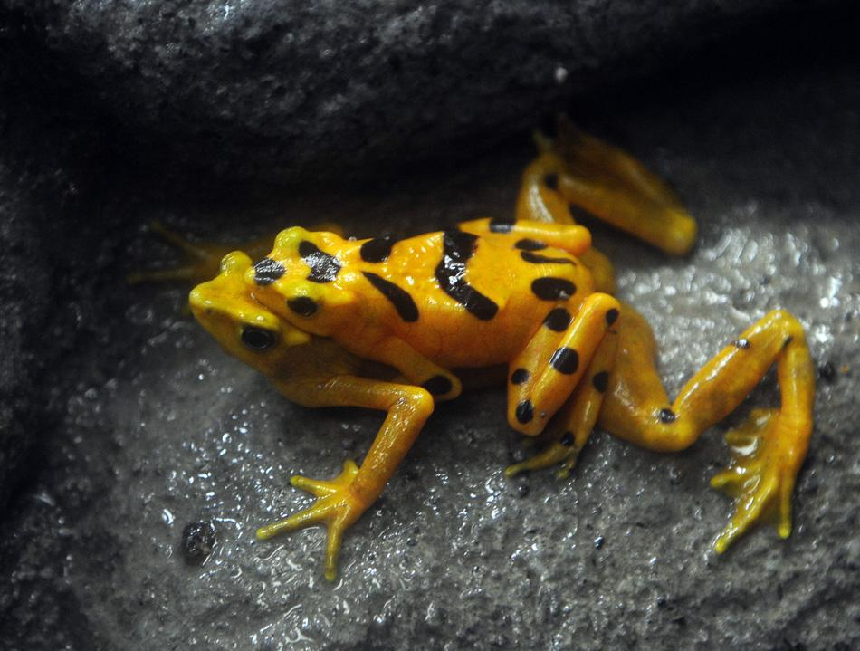 Photos : Rarest, weirdest frogs
