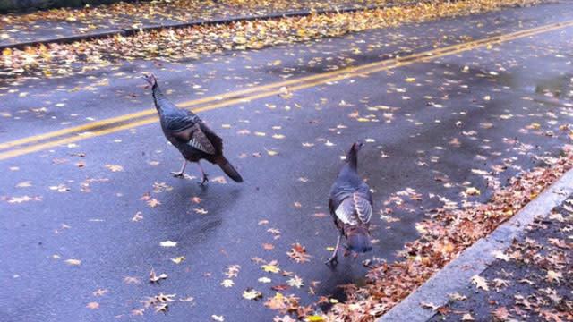 Wild Turkeys Overrun Brookline, Mass.