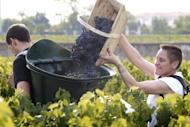 Grape pickers at Bordeaux grand cru vineyard Chateau Haut-Brion last August. Global wine buyers converge on Bordeaux for the annual futures sale that opens Monday, with a hit-and-miss vintage seen as a chance to pull skyrocketing prices back down to Earth